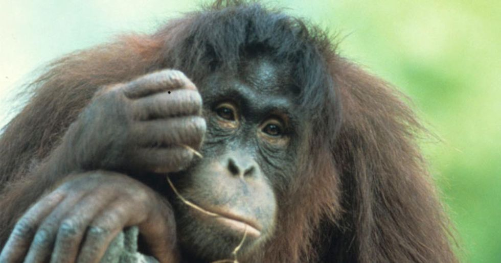 Top 25 Most Endangered Primates: the Most Current List