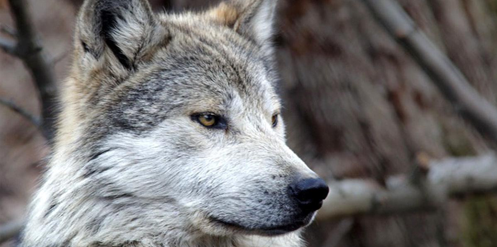 New Trump Administration Plan for Mexican Gray Wolves Puts the 'Lobo' on Path to Extinction
