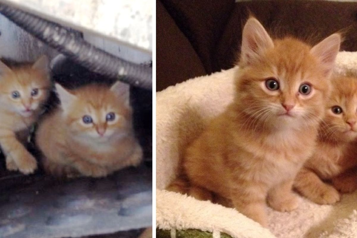 Man Saves Ginger Kittens Hiding Under Walkway and Raises Them Into Gorgeous Cats!