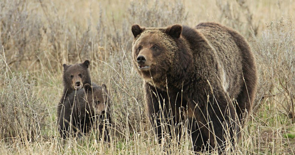 Good News for Yellowstone Grizzlies? U.S. to Review 'Flawed' Ruling That Removed Protections