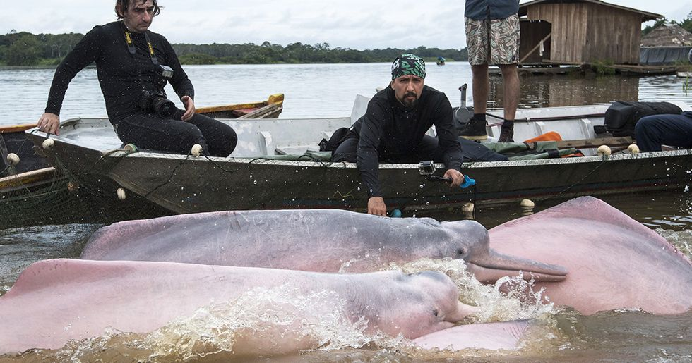 First Ever Tagging of Amazon Dolphins to Boost Conservation Efforts