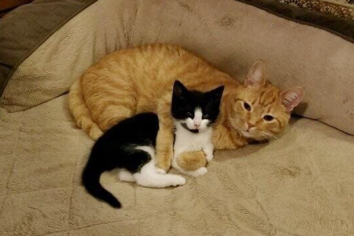 They Were Looking For a Home for Stray Kitten But Their Orange Cat Took Matters Into His Own Paws