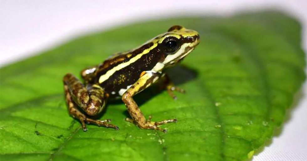 How Poison Frogs Could Crush Addiction