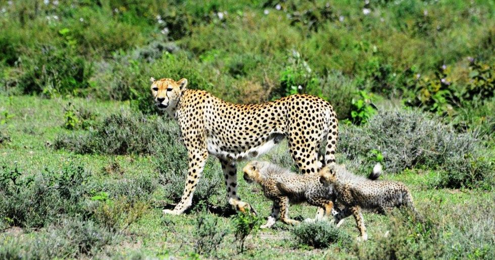 Scientists Call for Cheetahs to Be Listed as Endangered