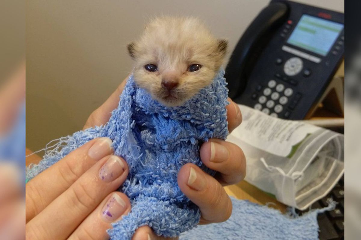 Kitten Found at Gas Station Survived Against All Odds and Grew Up To Be a Handsome Cat