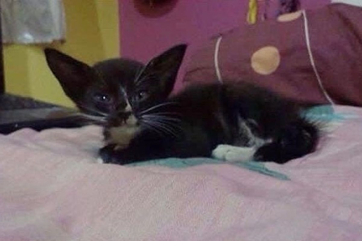 """Family Saves Kitten With """"Bat Ears"""" From the Drain and Raises Her into Beautiful Tuxedo Cat"""