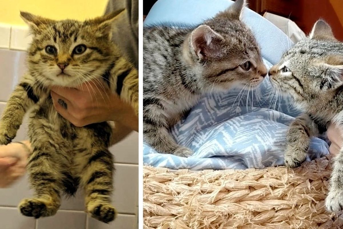 Rescuer Saves Bobtail Kitten and Goes Back to Find Her Brother - Sweetest Reunion!