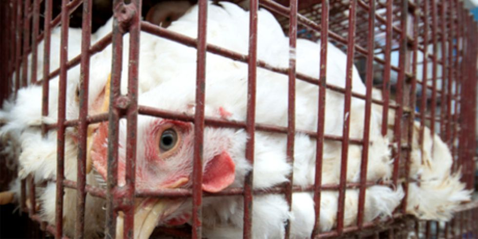USDA Gives in to Big 'Organic' Poultry, Moves to Withdraw New Animal Welfare Rules