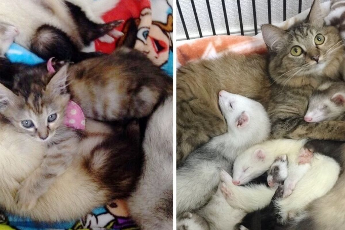 Orphaned Kitten Adopted by Unlikely Friends Now Thinks She's Part Ferret