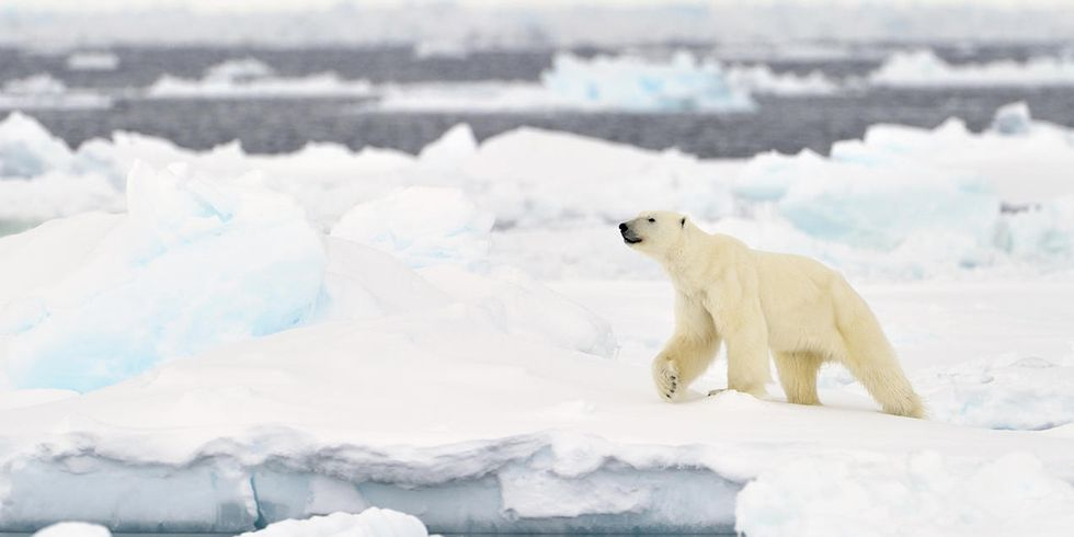 The Polar Bear, Climate Change's Poster Child, Ignites Controversy