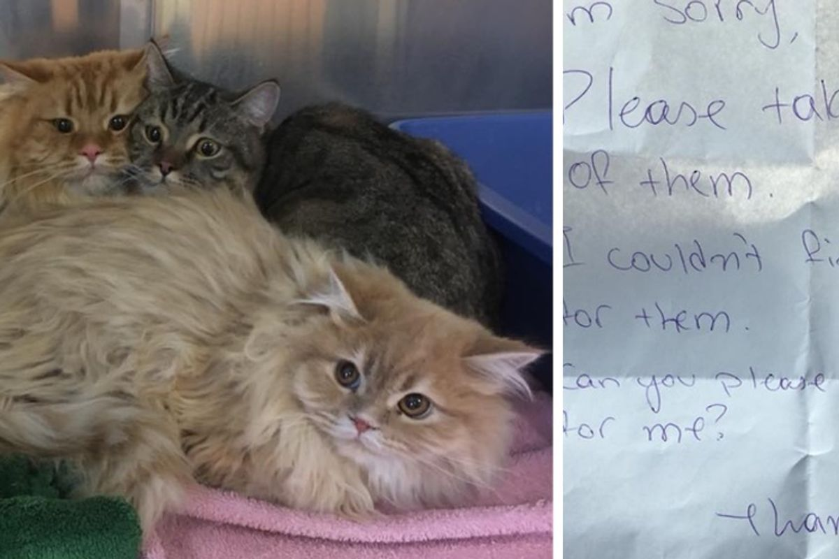 Himalayan Cats Found Outside Store with a Note, Get Help In Time for the Holidays