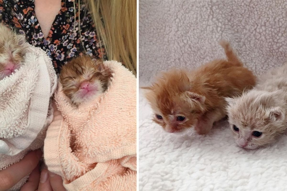 Woman Brings Kittens Back From the Brink and Raises Them into Gorgeous Ginger Siblings.