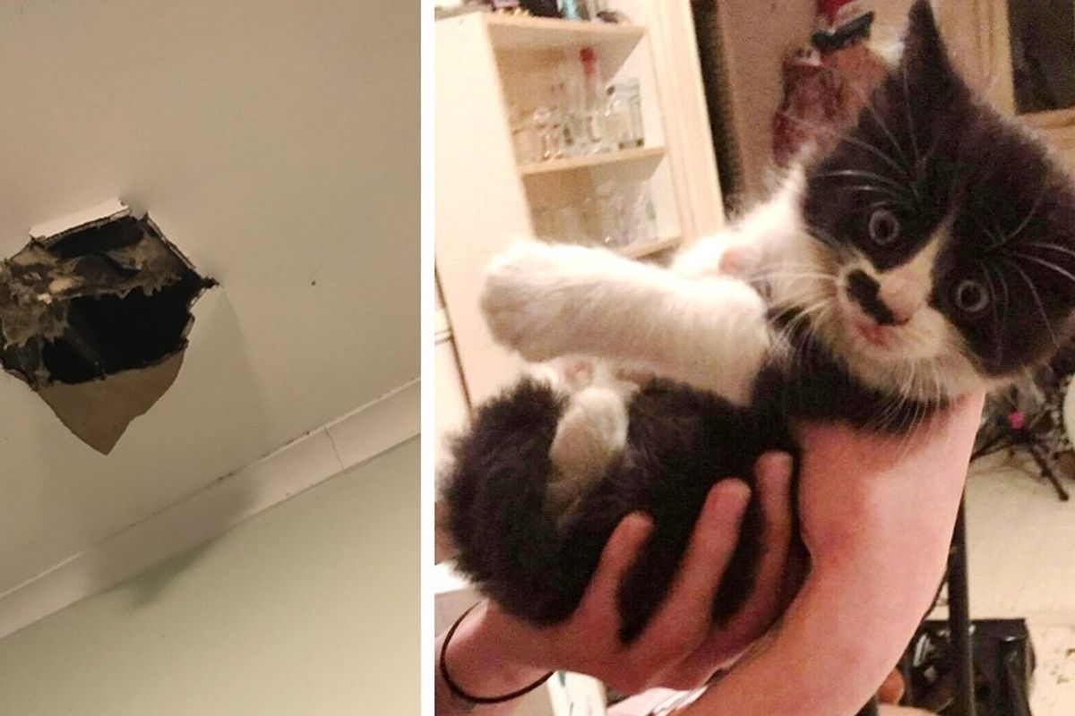 Tuxedo Kitten Falls From Ceiling Into Tenants' Hearts and His New Home