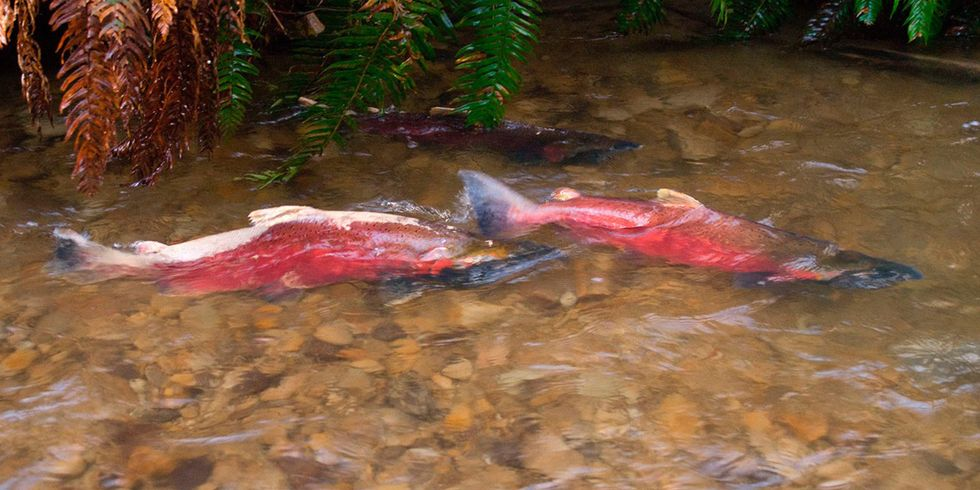 Is This How We Save Wild Salmon?