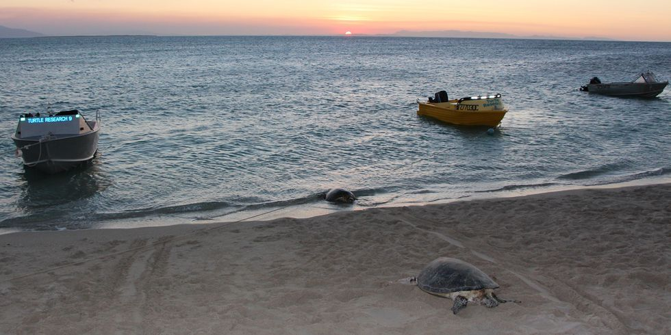 Great Barrier Reef: 99% of These Sea Turtles Are Turning Female