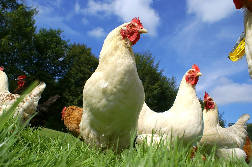 USDA Plans to Side With 'Fake Organic' Egg Producers, Ditch Animal Welfare Rule