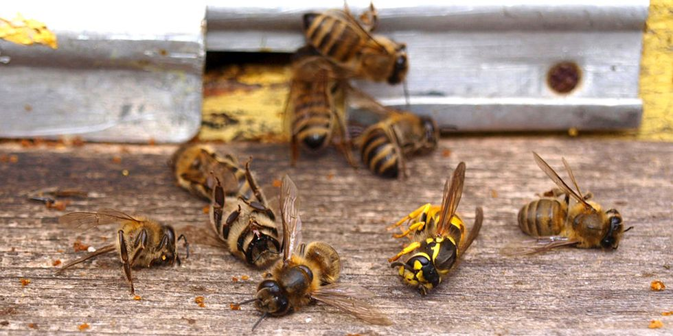 Honey Bees Attracted to Glyphosate and a Common Fungicide