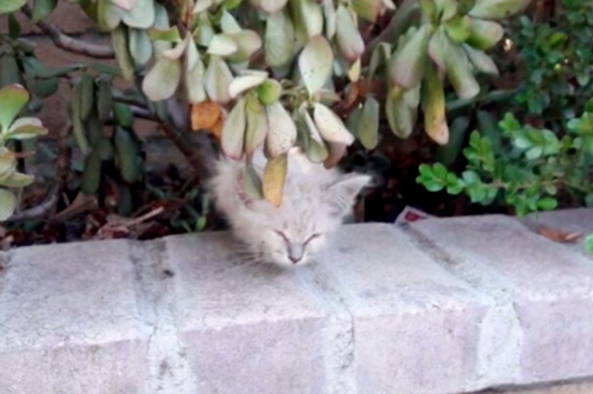Kitten With Raspy Meow Calls Out for Help from a Bush and Gets Rescued Just in Time.