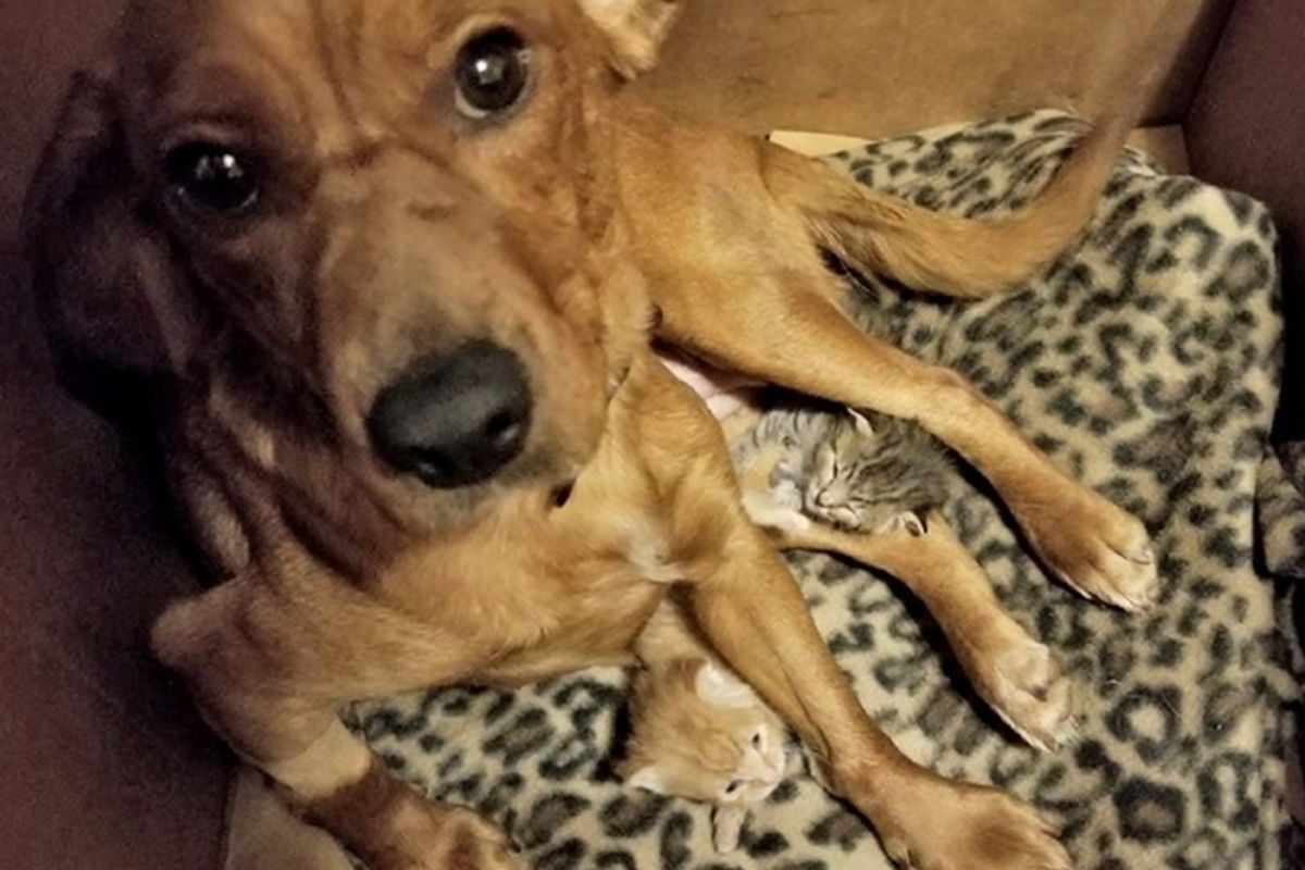 Dog Mourning Her Pups Until Two Orphaned Kittens Showed Up Needing a Mom.