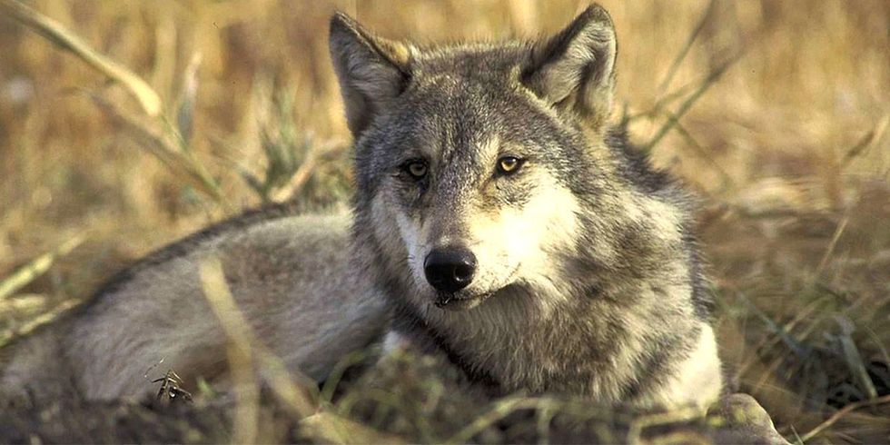 Analysis: Congress Attacked Endangered Species Every 6 Days in 2017