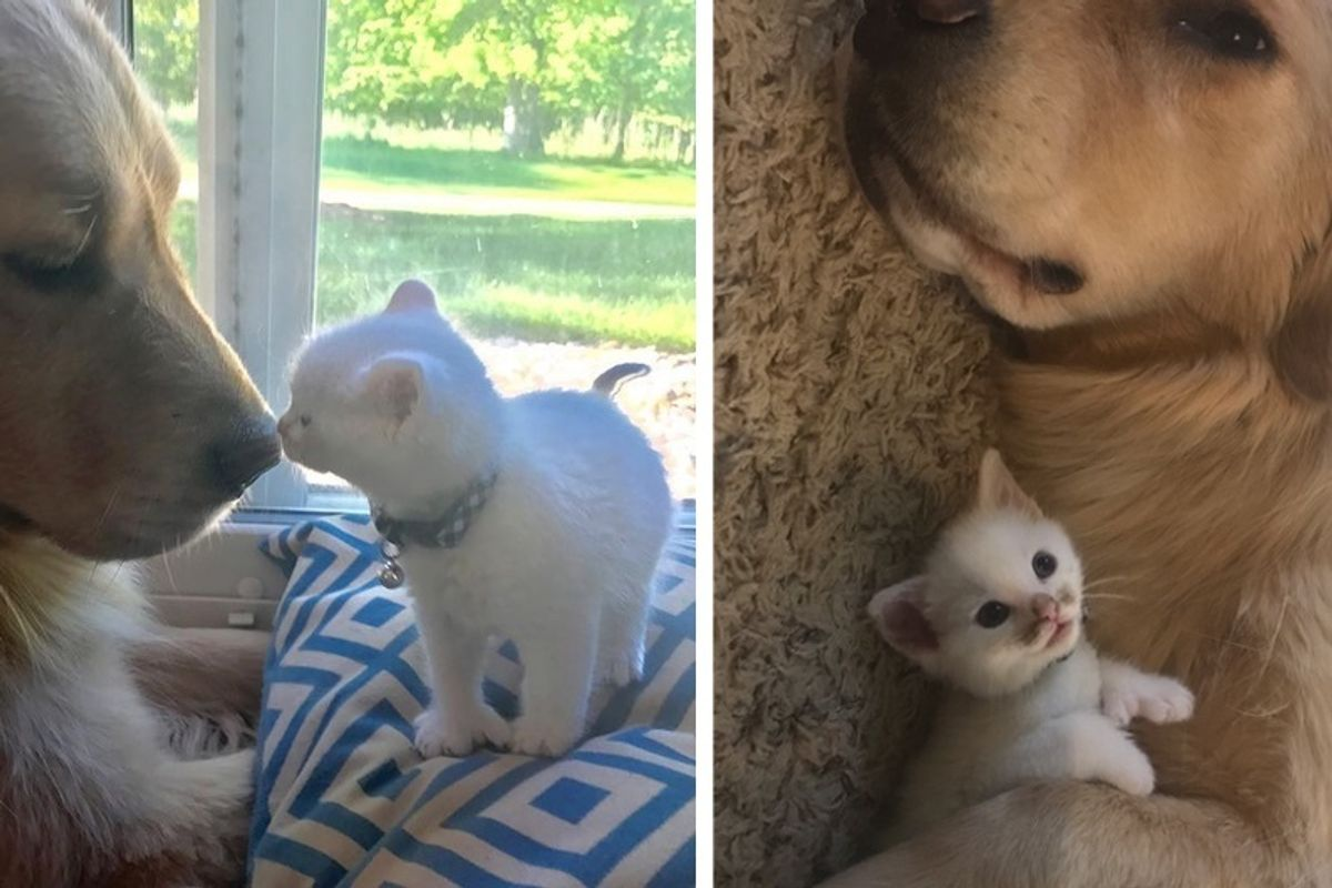 Kitten with Thumbs Found Love in Giant Dog Who Raised Him Into the Cuddliest Cat.