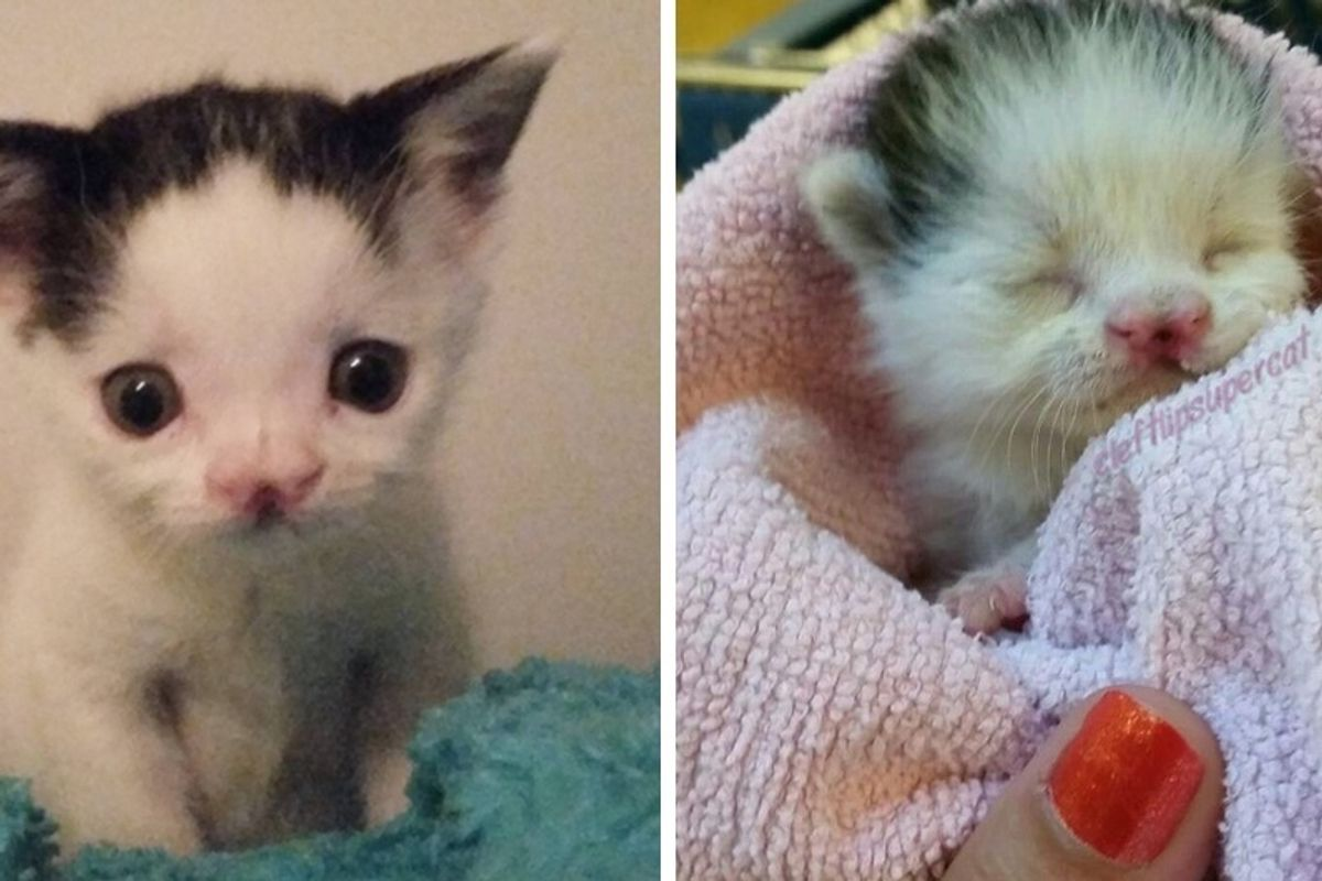 Kitten Born with Cleft Lip Saved At a Few Days Old and Grew to Be a Gorgeous Lady Cat