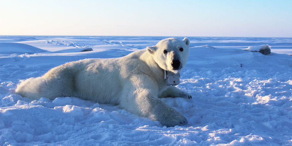 Polar Bears Could Be Struggling to Catch Enough Prey, Study Shows