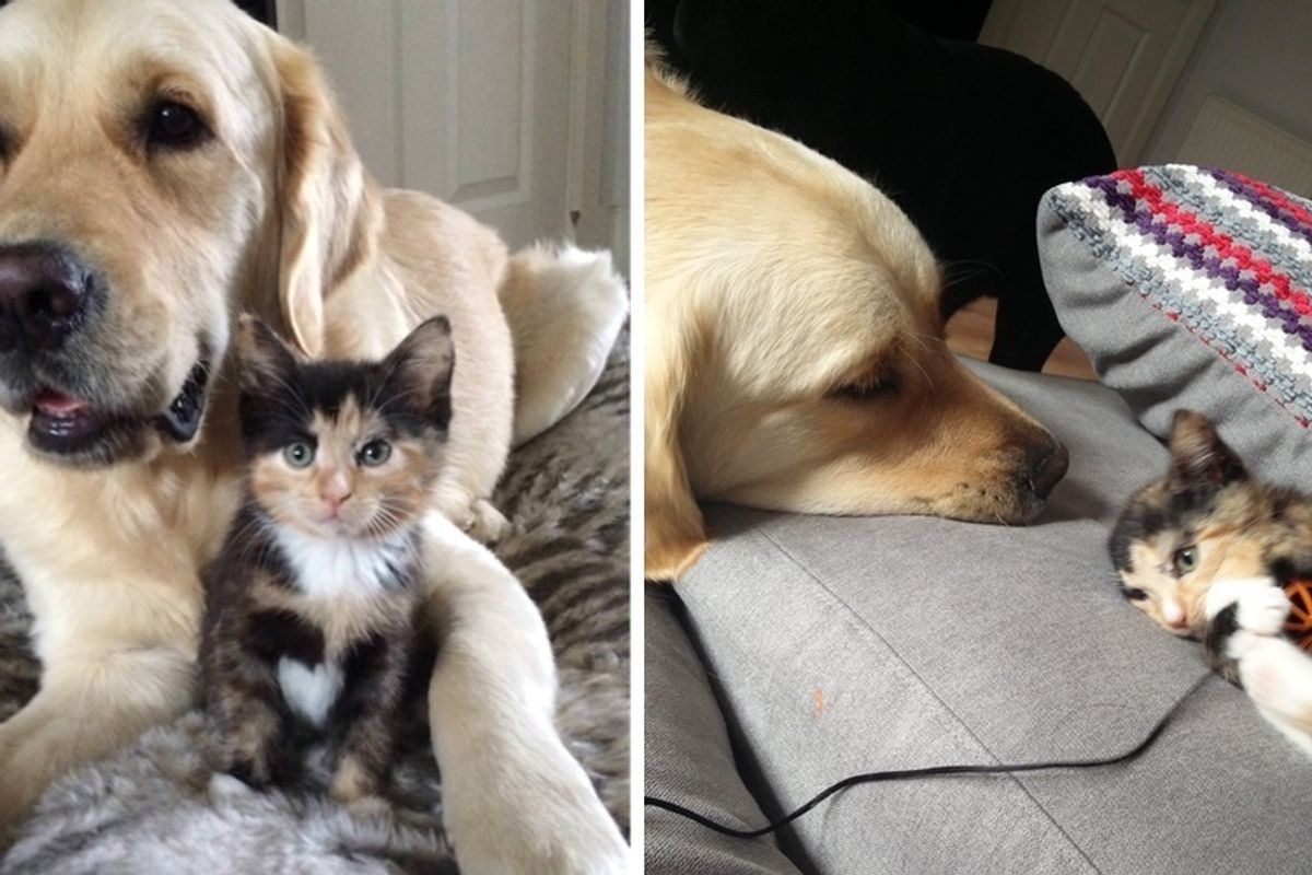 2 Dogs Try to Win a Calico Kitten's Heart and Become Her Protective Bodyguards.
