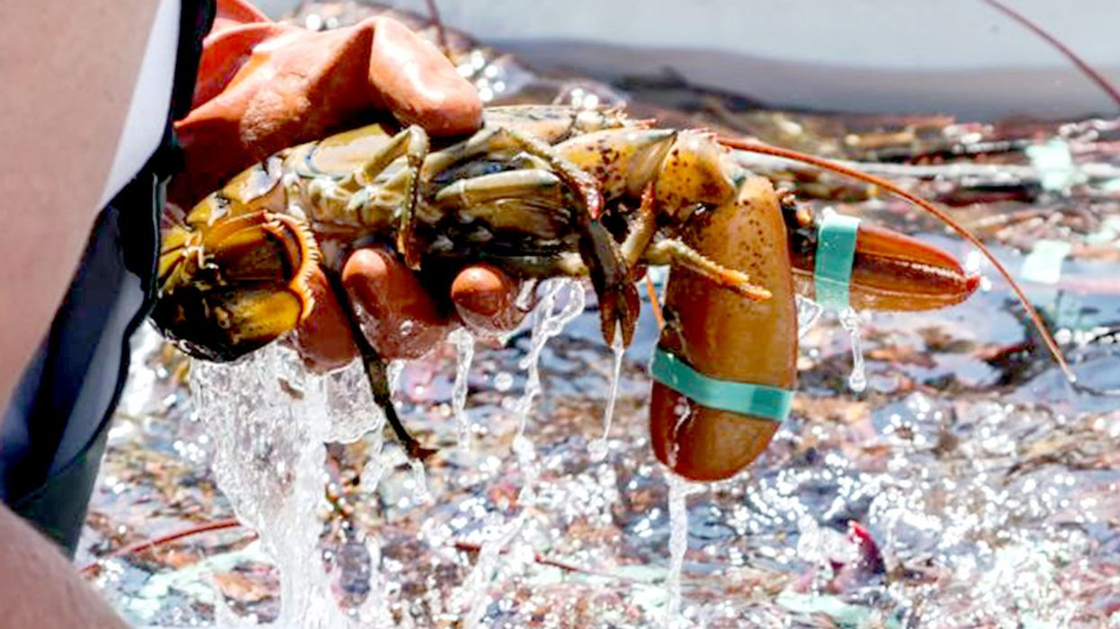 Lobster Industry Ensnared in North Atlantic Right Whale Deaths