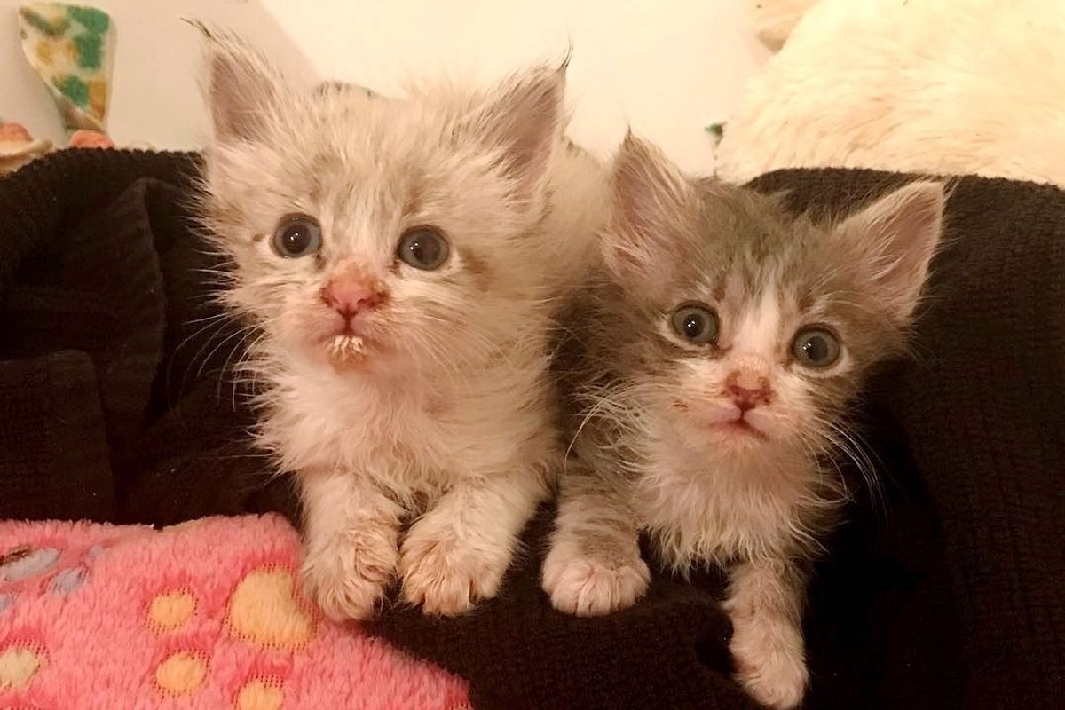 Rescue Kitten No One Thought Would Survive, Fights Alongside His Siblings, Now 4 Months Later.