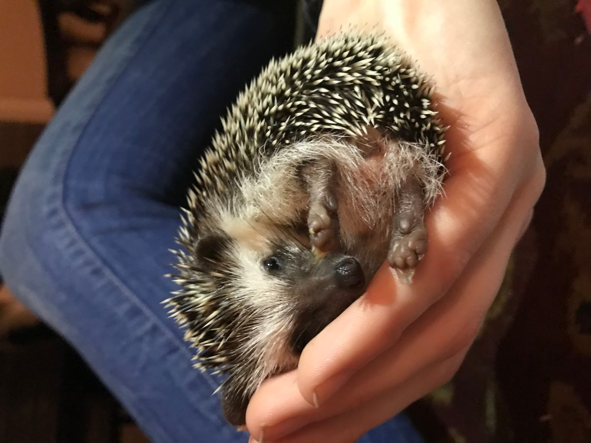 5 Things Those Cute Hedgehog Videos Don't Teach You About Hedgehogs