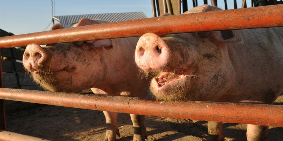 USDA Proposes Significant Cuts in Pork Processing Regulation