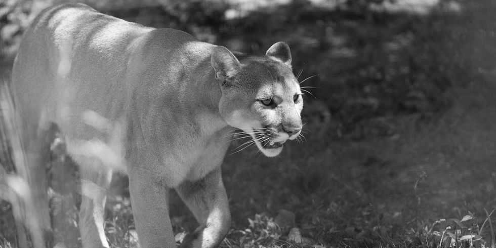 Ghost Cat Gone: Eastern Cougar Officially Declared Extinct