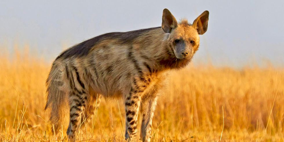 Striped Hyenas Don't Have Magical Powers, But Their Disappearing Act Is Real