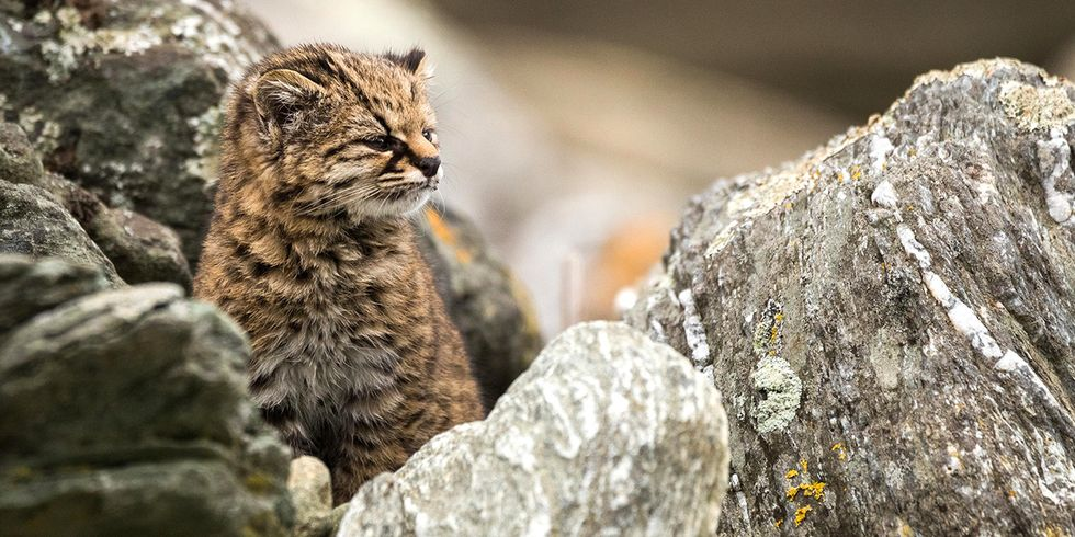 Can the Smallest Wild Cat in the Americas Survive?