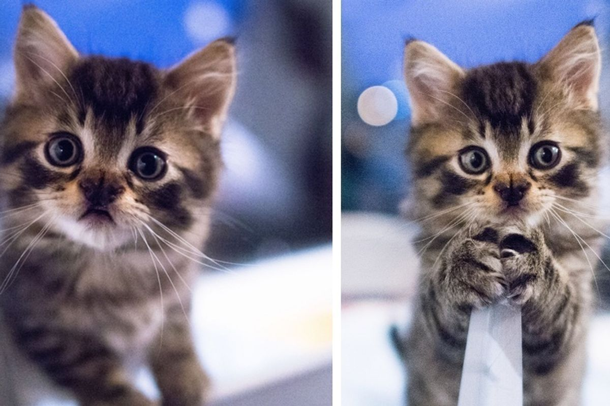 Kitten Born with the Sweetest Butterfly-shaped Nose Blossoms into a Majestic Fluffy Cat