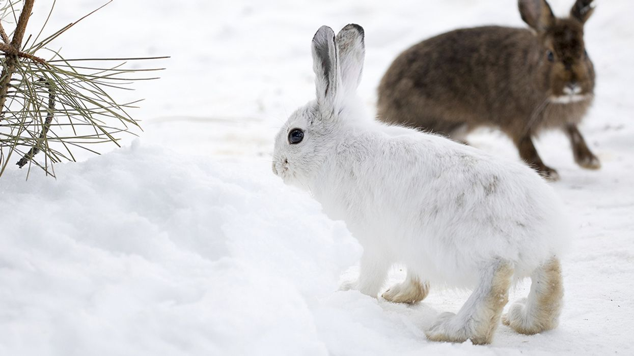 Animals With White Winter Camouflage Could Struggle to Adapt to Climate Change