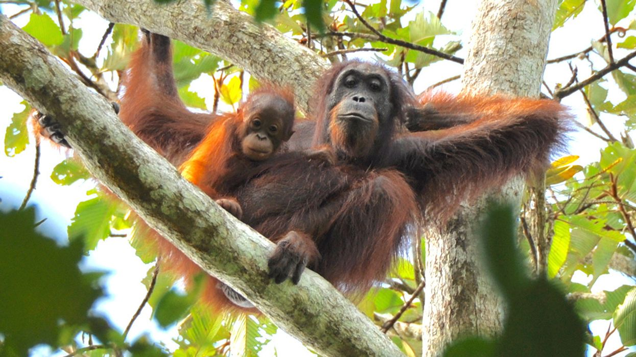 Ravaged by Deforestation, Borneo Loses Nearly 150,000 Orangutans in 16 Years