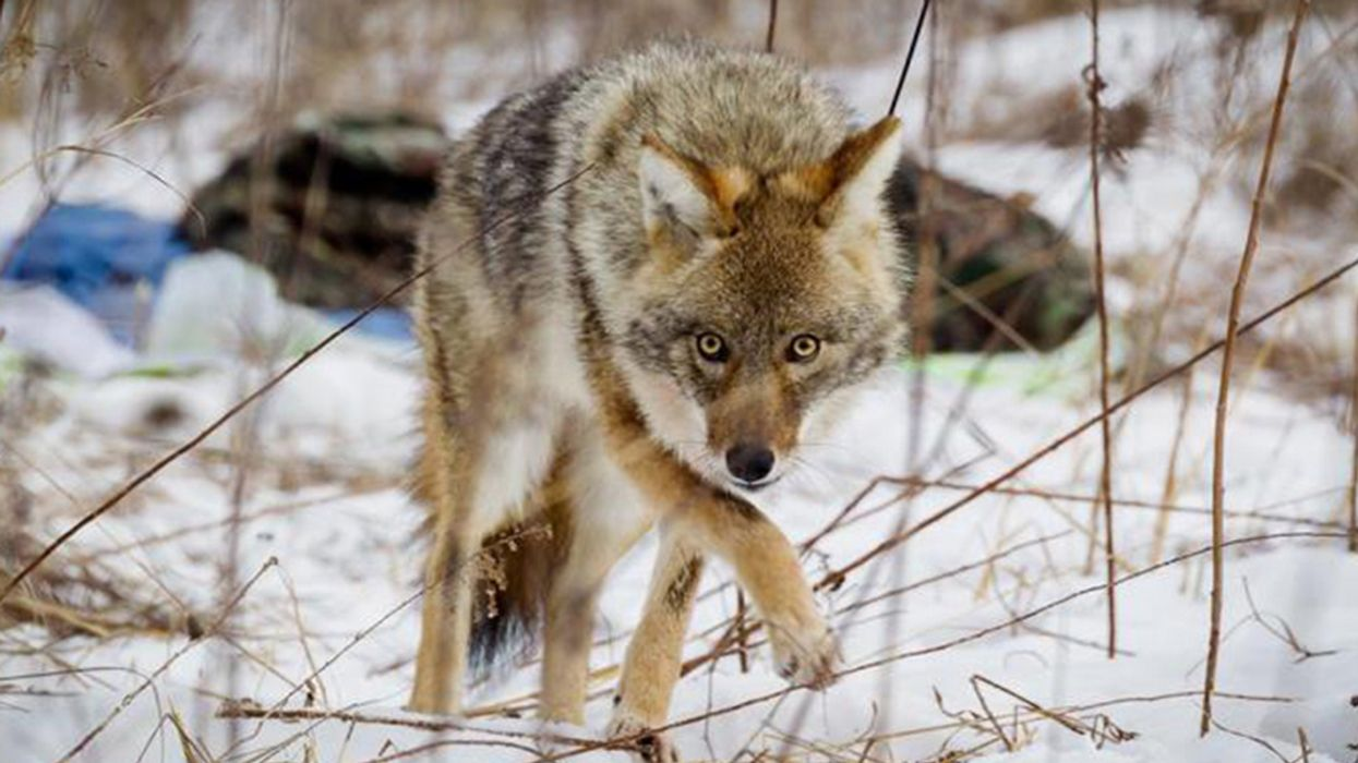 Can Humans, Coyotes and Red Foxes Coexist?