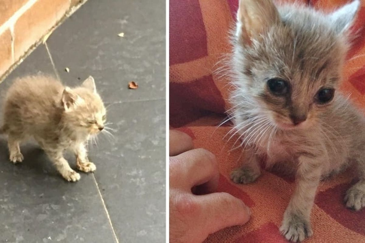 Man Found Tiny Kitten on Sidewalk, Barely Moving - 24 Hours Later, the Kitty Bounced Back.
