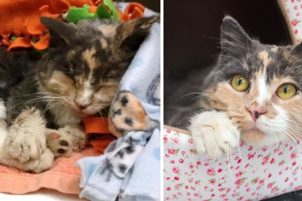 """Calico Cat Found """"Frozen to the Ground"""" Brought Back to Life and Eager to Be Loved."""