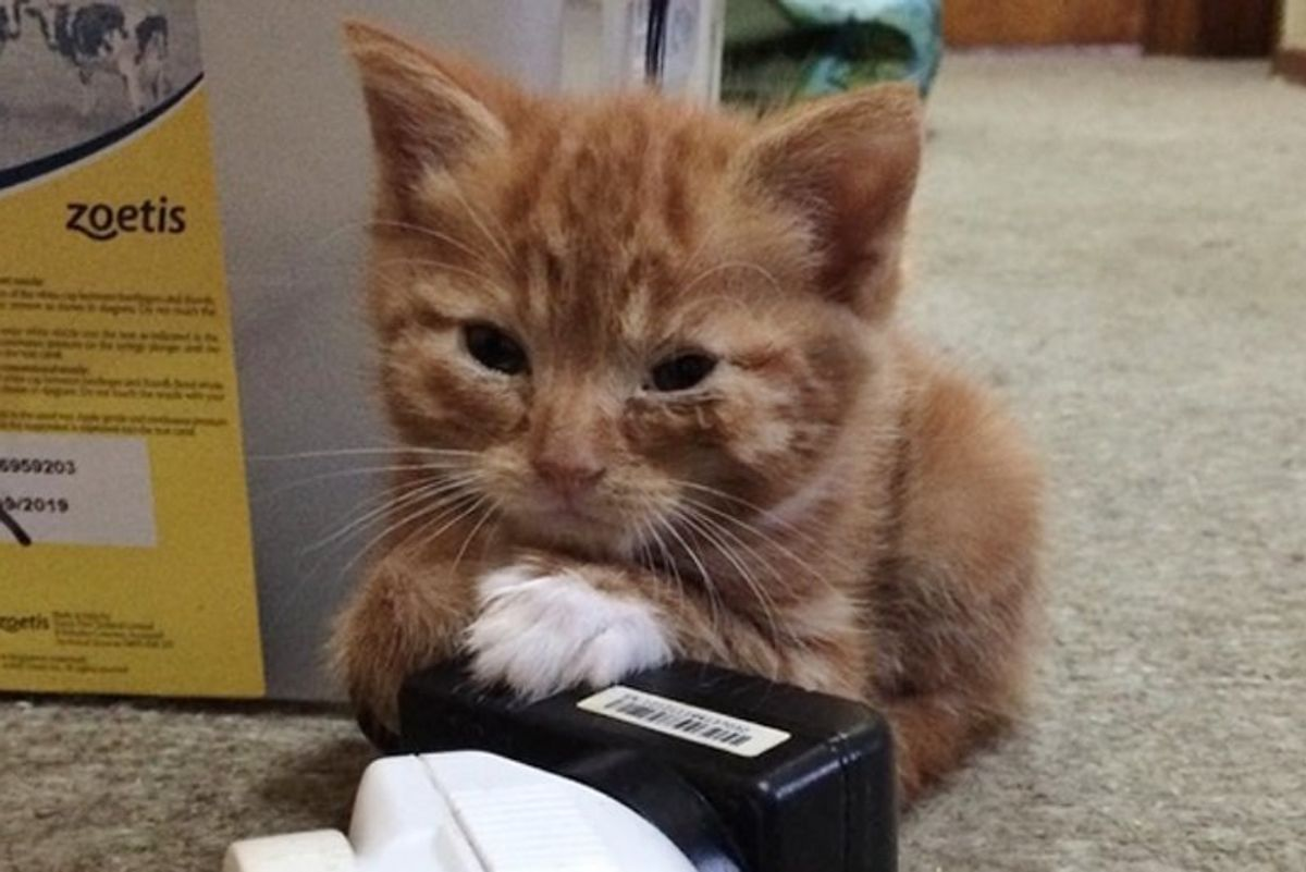 Kitten Who Stays Forever Tiny in Size, Is So Happy to Be Loved After Finding a Home.