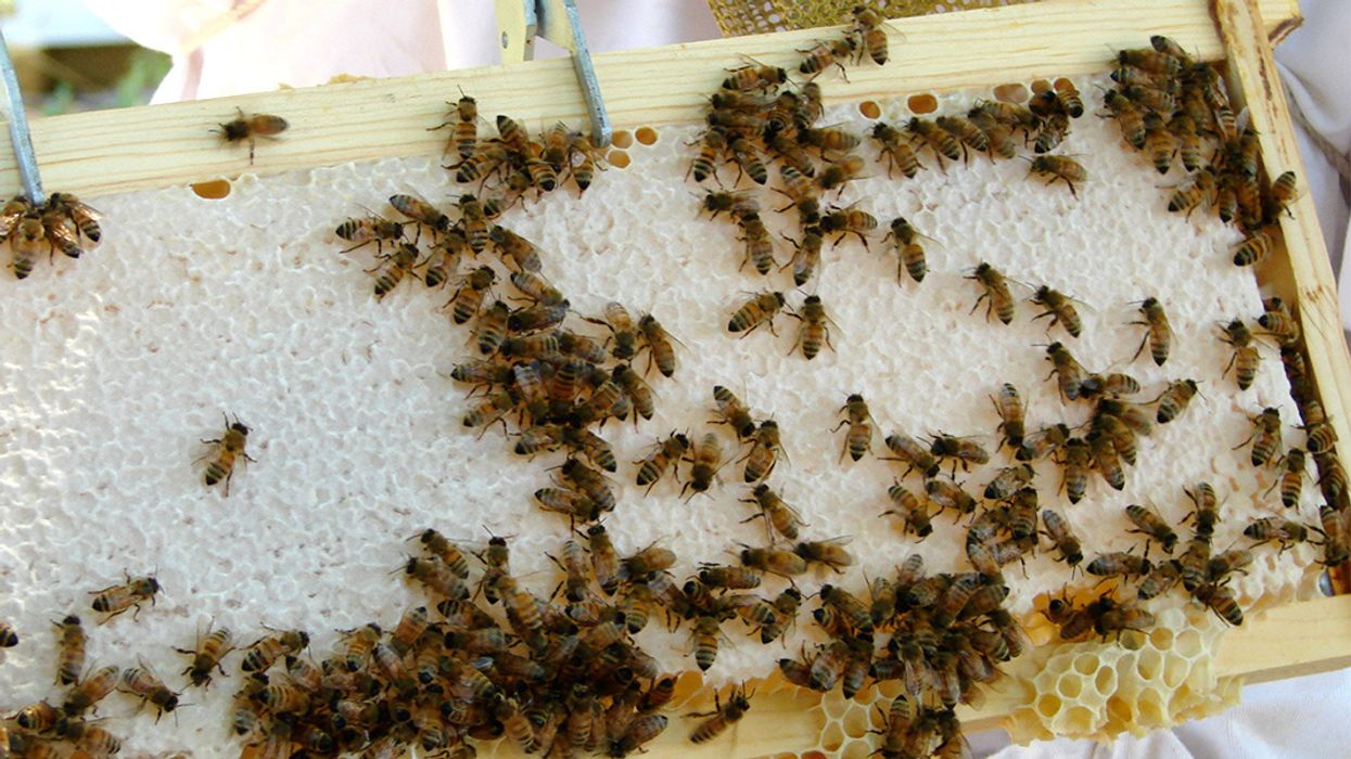 EU-Wide Ban on Bee-Harming Pesticides Likely After Major Review