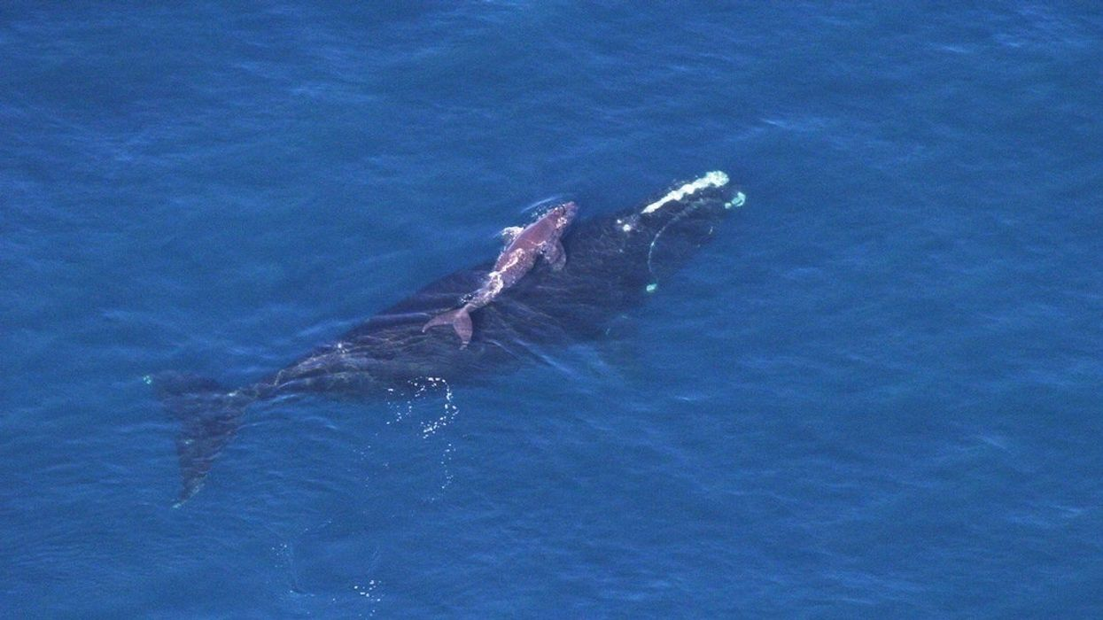 Scientists Haven't Seen a Single North Atlantic Right Whale Calf This Season