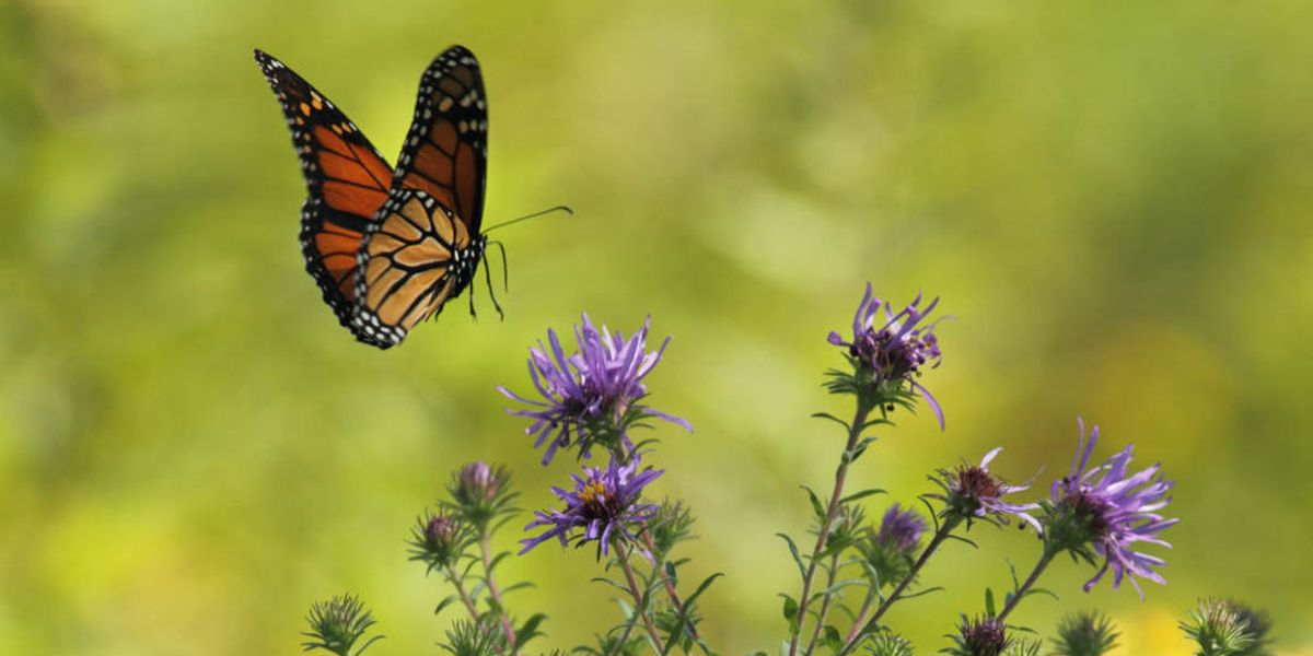 Controversial weedkiller could spell big trouble for monarch butterflies: Report
