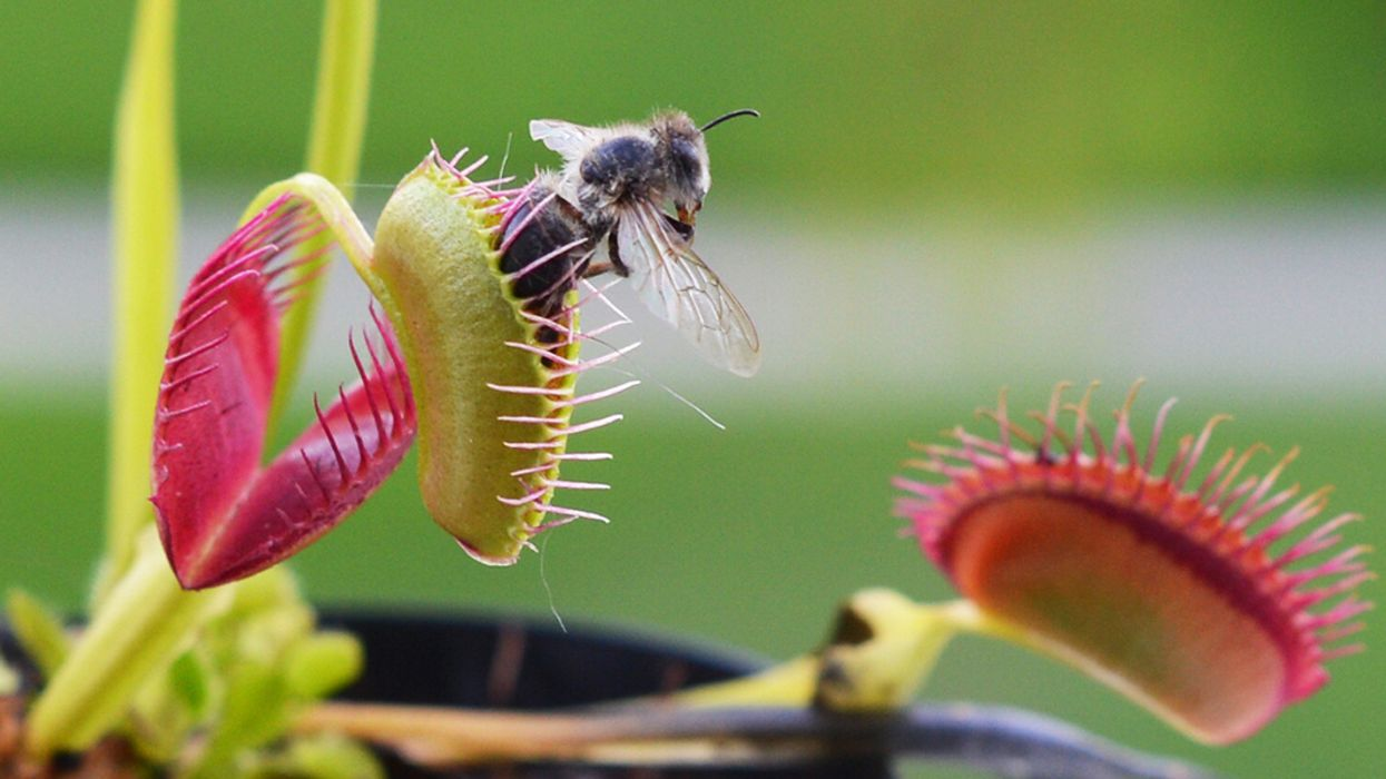 Friend or Food? Why Venus Flytraps Don't Eat Their Pollinators