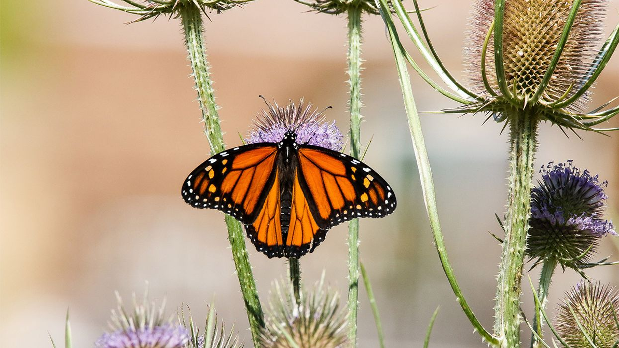 Monarch Butterfly Migration Could Collapse, Scientists Warn