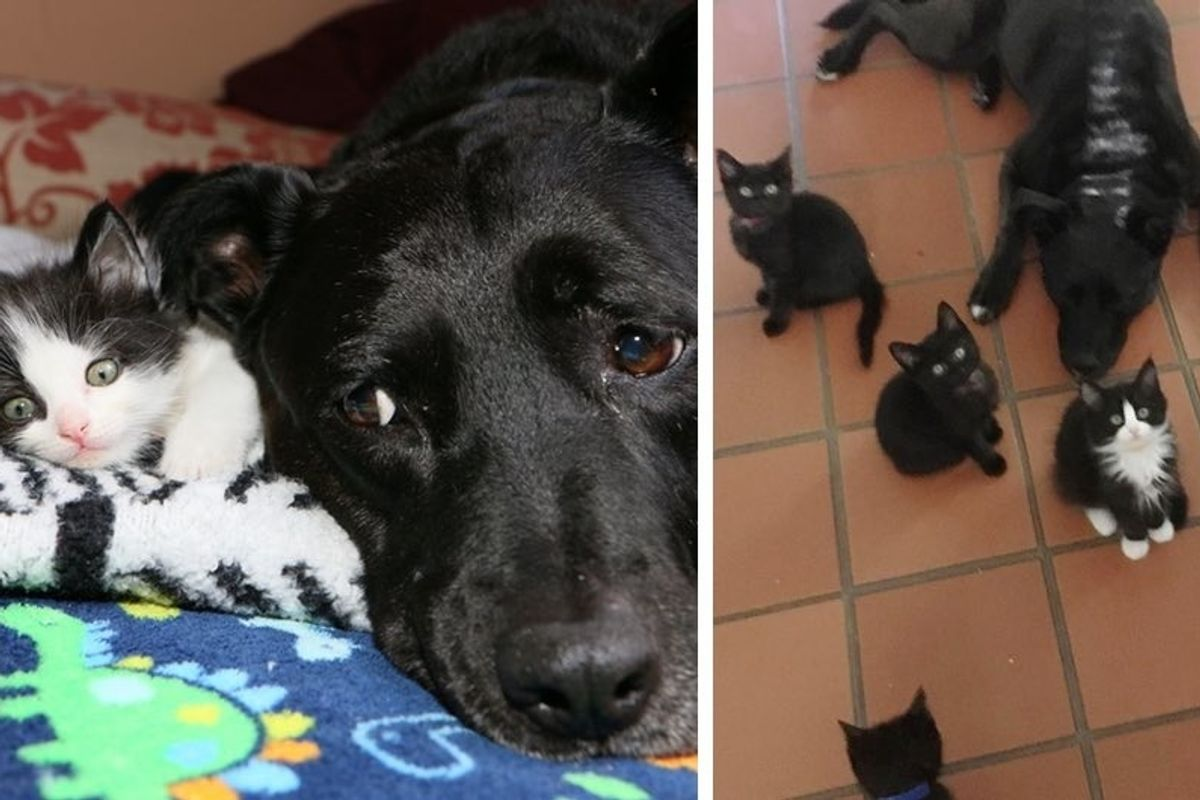 Dog Becomes Foster Mom to Nearly 100 Kittens After She Lost Her Best Cat Friend