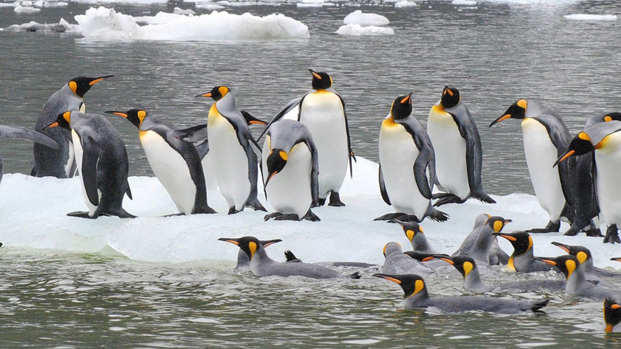 Climate Change: 70% of King Penguins Could 'Abruptly Relocate or Disappear' by 2100