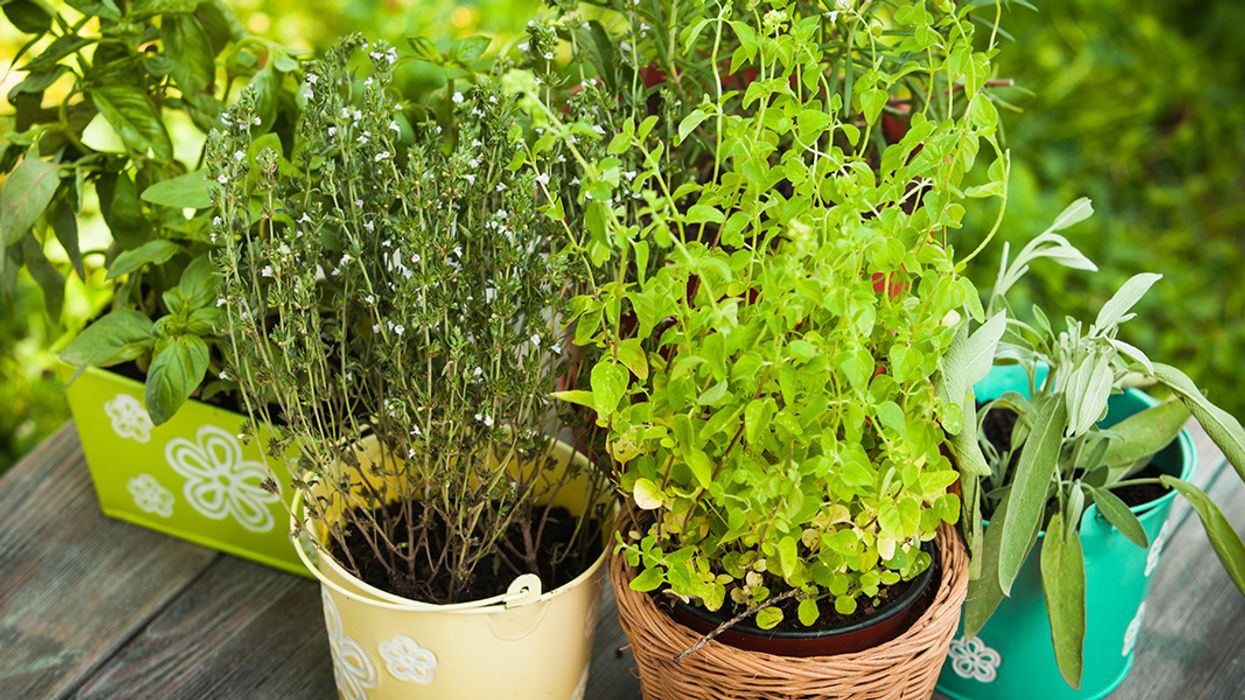 7 Perennial Herbs to Plant Now
